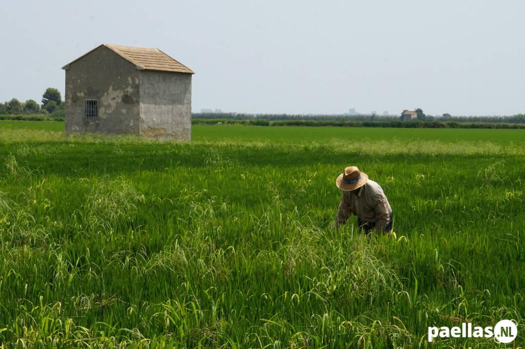 Paella wat is het - arbeider in rijstvelden van Valencia