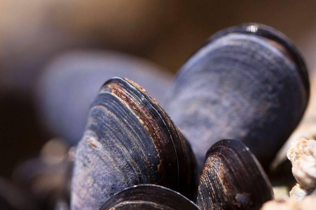 Welke schelpen gaan er in paella