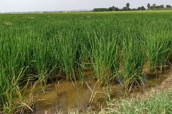 Rijstveld met paella rijst